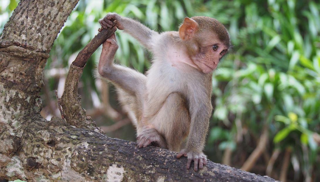 khỉ-con-đảo-cát-bà